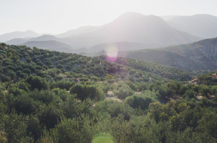 olive trees fields in andalusia Spain taken by Milie Del