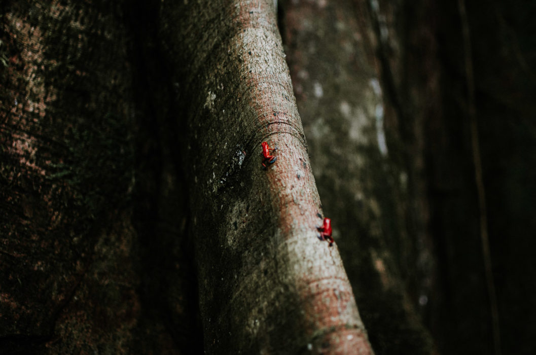 little red frog on a tree jungle panama