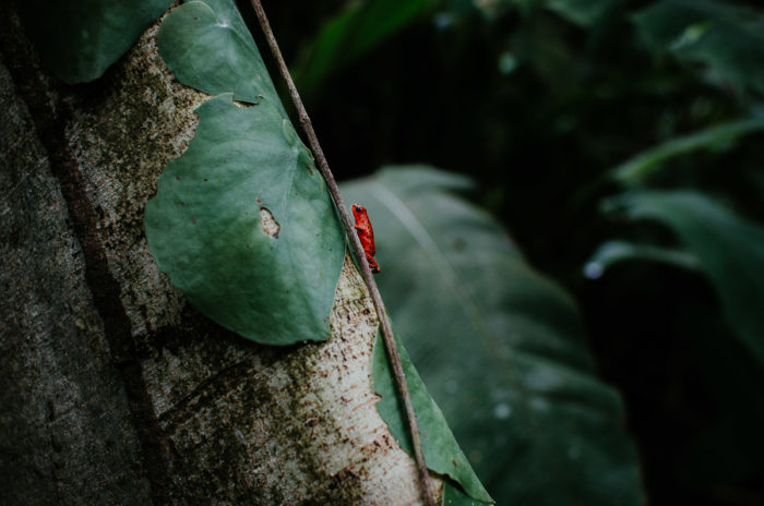 little red frog on a tree in the jungle panama by travel photographer Milie Del
