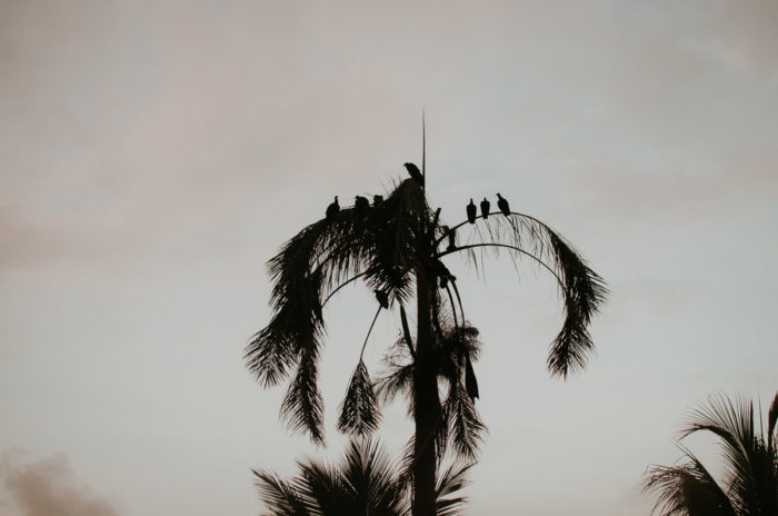 Vultures on a palmtree at sunset near Almirante Panama