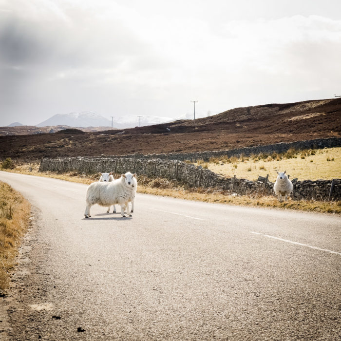Sheep on the road in Kyle of Tongue, North of Scotland taken by Milie Del