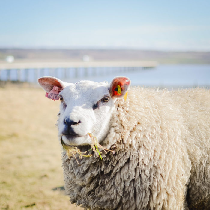 Portrait of a sheep near Inverness in Scotland taken by Milie Del