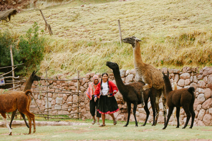 Lamas having sex in Cuzco Peru