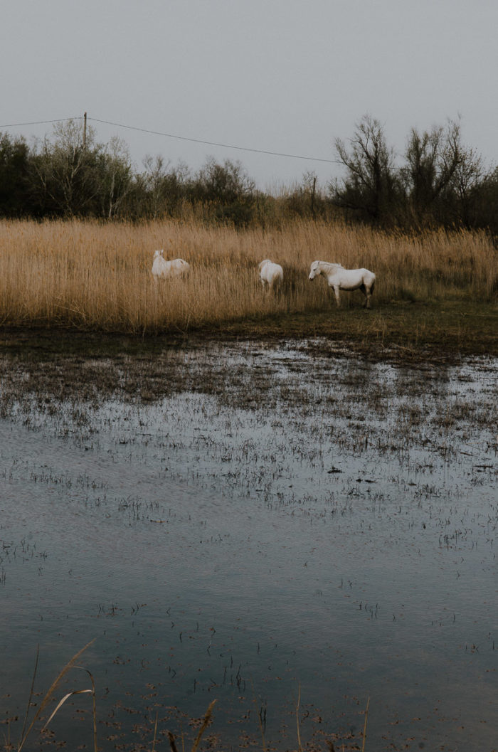 wild white horses in a pond in camargue, south of france