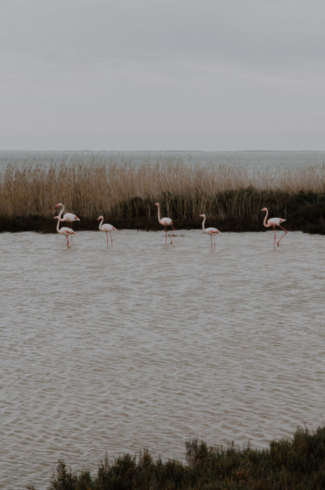 flamingos at vacares pond in camargue