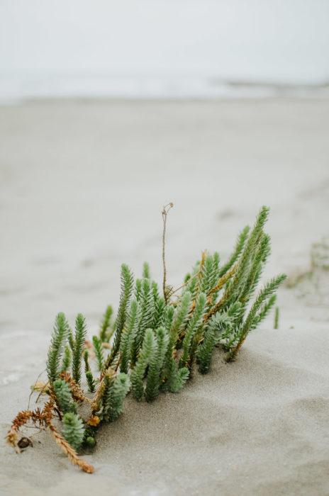euphorbe des sables dans les dunes au bord de la mer mediterranee
