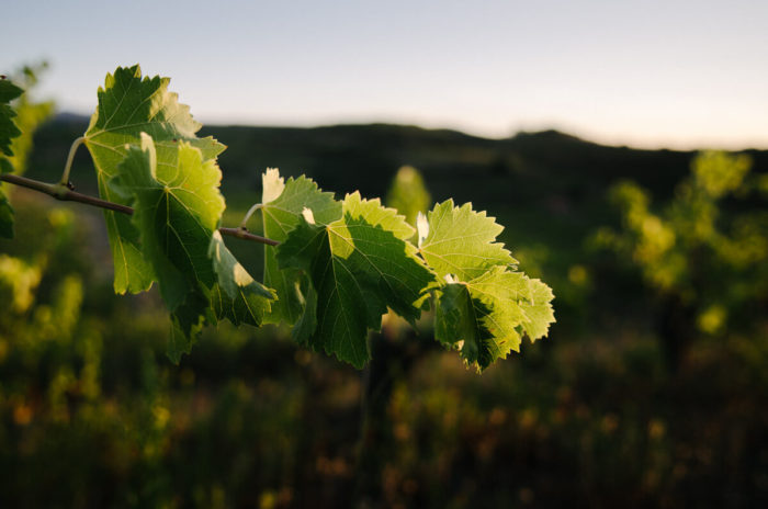 vineyard leaves golden light sunrise domaine lauzeta Milie Del Photographer