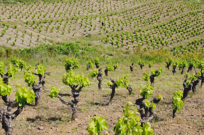 La Lauzeta vineyard in spring by Milie Del photographer