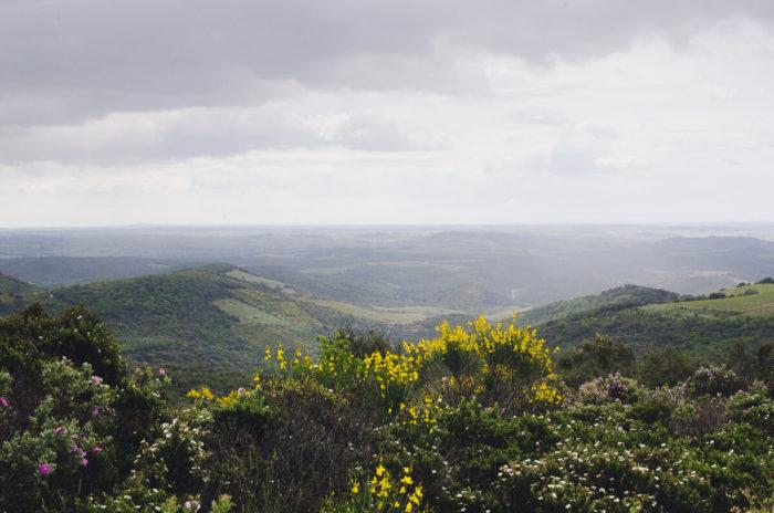milie del paysage parc haut languedoc genets cystes fleurs