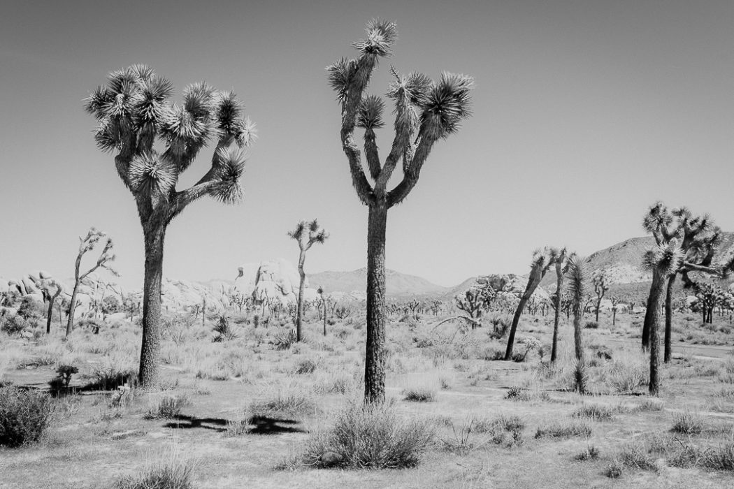 Joshua trees in black and white picture Milie Del