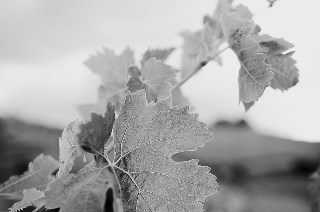 feuilles de vignes en noir et blanc art milie del